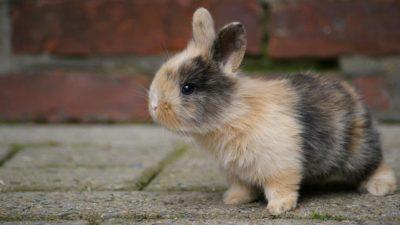 Cómo alimentar a un conejo recién nacido