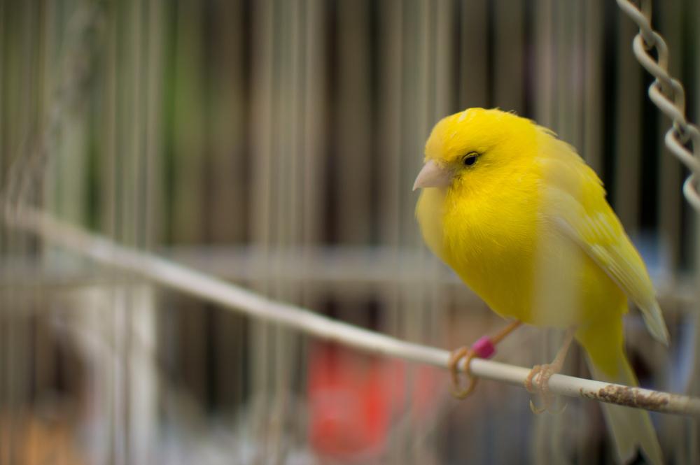 Consejos para comprar la mejor jaula para canarios