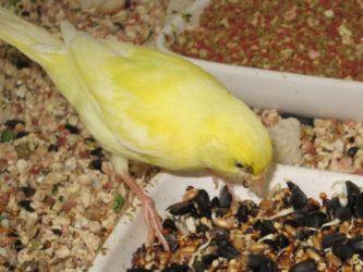Piensos para canarios