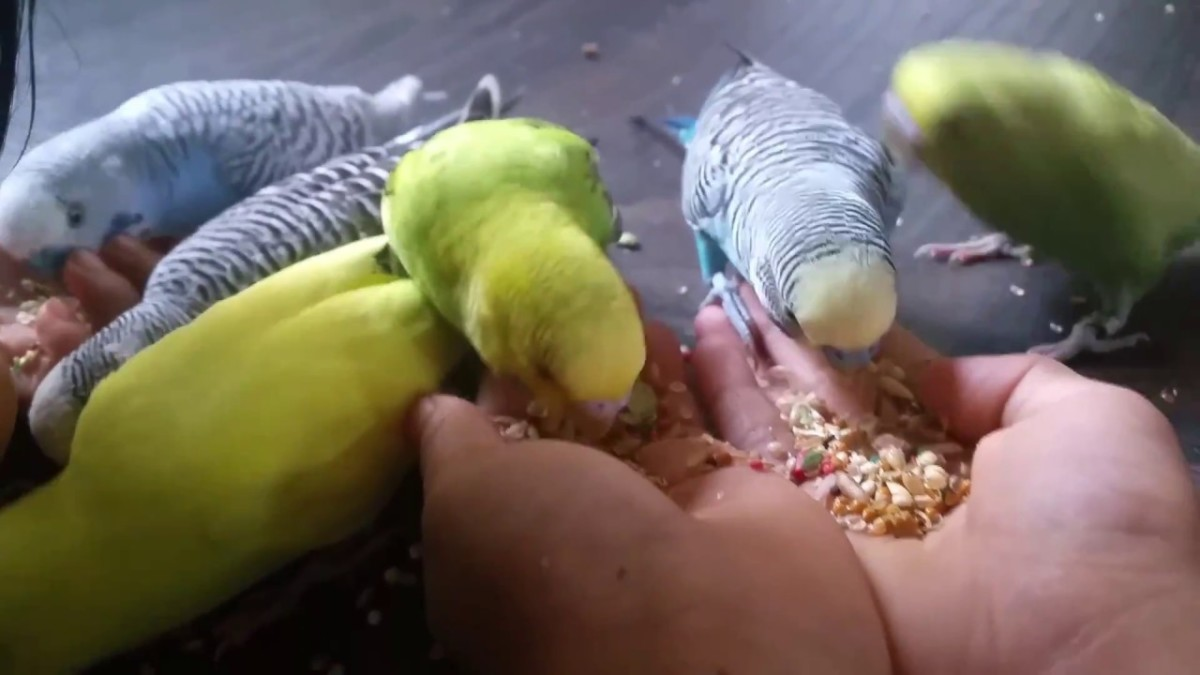 Las 7 mejores comidas para periquitos de 2019 opiniones - Piscina los periquitos ...