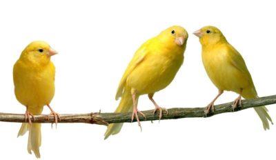 Vitaminas para canarios